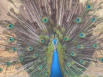 Peacock14.jpg