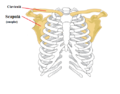 Pectoral girdle front diagram RO update.png