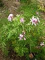 Pelargonium radens 1c.JPG