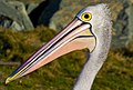 Pelican Female colours-1and (3722438321).jpg