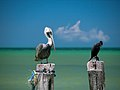 Pelican and Cormorant (5308047084).jpg