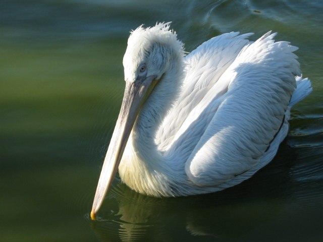 Pelicans 3