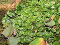 Pellia epiphylla.jpeg