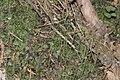 Pellia epiphylla IMG 2046.jpg