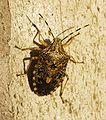 http://upload.wikimedia.org/wikipedia/commons/thumb/6/69/Pentatomidae_spec.jpg/106px-Pentatomidae_spec.jpg