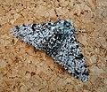 Peppered Moth (Biston betularia) (48288315786).jpg