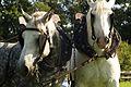 Percherons attelés mondial du cheval percheron 2011Cl J Weber17 (23456665123).jpg