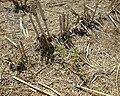 Perennial sorghum spring regrowth.JPG