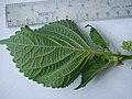Perilla frutescens (L.) Britton (AM AK360555-4).jpg