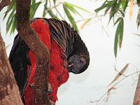 Pesquet's Parrot 2