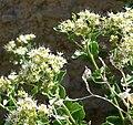 Petalonyx nitidus 5.jpg