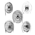 Petromyzontiformes mouths PZSL1851.png