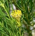 Peucephyllum schottii 5.jpg