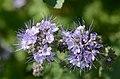 Phacelia tanacetifolia* (7342527598).jpg