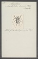 Phacellocera - Print - Iconographia Zoologica - Special Collections University of Amsterdam - UBAINV0274 034 23 0003.tif