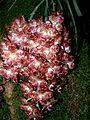 Phalaenopsis gigantea Orchi 032.jpg