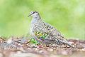 Phaps chalcoptera - Australian National Botanic Gardens.jpg