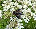 Phasia hemiptera (48338302046).jpg