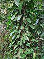 Philodendron erubescens (plantae).jpg