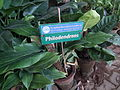 Philodendron from lalbagh 2227.JPG