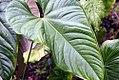 Philodendron grandipes 1zz.jpg