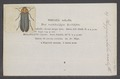 Phryganophilus - Print - Iconographia Zoologica - Special Collections University of Amsterdam - UBAINV0274 028 03 0030.tif