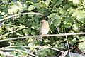 Phylloscopus trochilus - Willow Warbler, Adana 2016-12-31 02-1.jpg