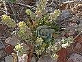 Physaria chambersii 1.jpg