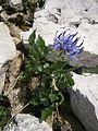 Phyteuma sieberi RHu 02.JPG