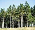 Picea abies 11 ies.jpg