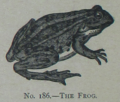 Picture Natural History - No 186 - The Frog.png