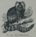 Picture Natural History - No 29 - The Marmoset.png