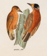 Picumnus cinnamomeus - 1820-1863 - Print - Iconographia Zoologica - Special Collections University of Amsterdam - UBA01 IZ18700019 (cropped).tif