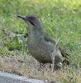 Picus viridis sharpei 010.jpg