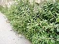 Pied de mur - végétalisation naturelle - rue Cuvier.jpg