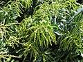 Pieris japonica Dorothy Wyck 2zz.jpg