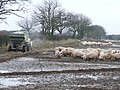 Pig Feeding ( Industrial Style ) - geograph.org.uk - 1163413.jpg