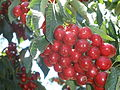 PikiWiki Israel 31446 Cherry fruits.JPG