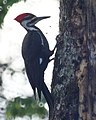 Pileated Woodpecker (4342547658).jpg
