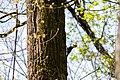 Pileated woodpecker (47582871691).jpg