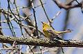 Pine Warbler (13975076984).jpg