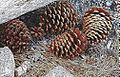 Pine cones Mammoth.jpg