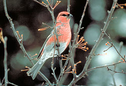 Pine grosbeak.jpg