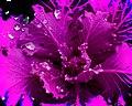 Pink Lettuce Hard Mix (6768716043).jpg