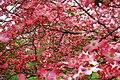 Pinkdogwood1 - West Virginia - ForestWander.jpg