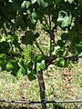 Pinot Noir vine at The Cabbage Tree Vineyard Kitchener Street Martinborough NZ 2Jan2008.jpg