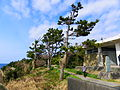 Pinus in Coast of Shio Cape 20100214.jpg