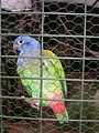 Pionus menstruus -Blue headed parrot on cage.jpg