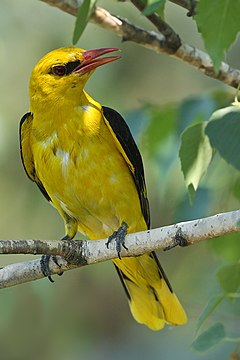 Pilksvai geltonas paukstelis