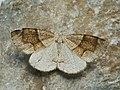 Plagodis pulveraria - Barred umber - Перистоусая пяденица ивовая (40893617482).jpg